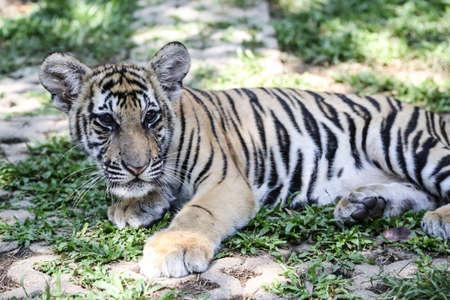baby tiger: Baby Tiger in Thailandia s Tiger Zoo