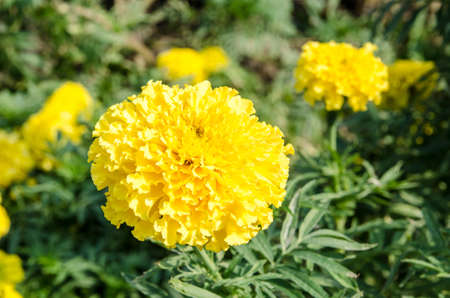 Closeup yellow marigold  photo