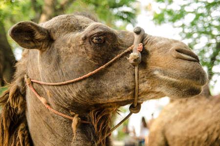 Head of the camel Stock Photo