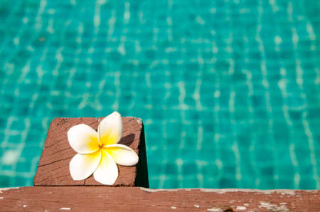 Beautiful frangipani on wood in the swimming pool photo