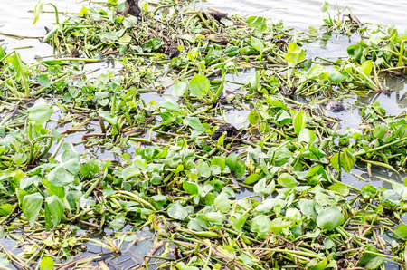 Toxins in the river  Green water hyacinth in the river Stock Photo