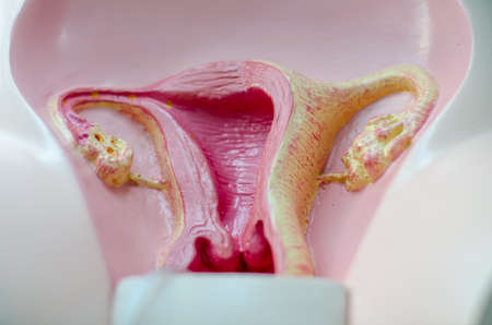 myometrium: mimetic female reproductive organ