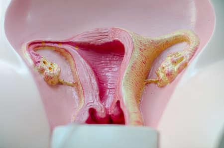 female reproductive organ: mimetic female reproductive organ