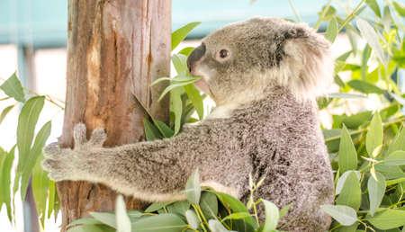 Eucalyptus  Wikipedia