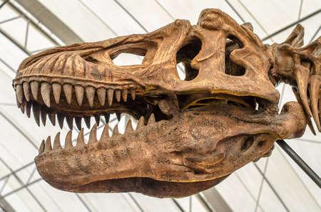 dueling: Close up of Giant Dinosaur or T-rex skeleton