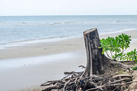 Broken tree at the beach Stock Photo
