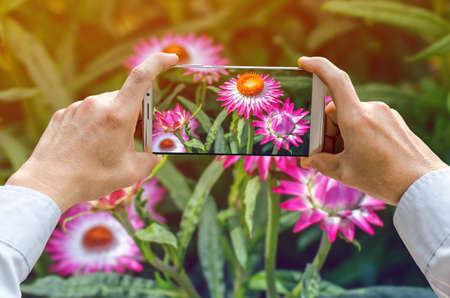 Cropped shot view of mans hands making photo on mobile phone camera of Pink calendula flower Stock Photo