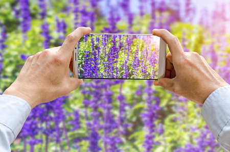Cropped shot view of mans hands making photo on mobile phone camera of purple lavender flowers in the field
