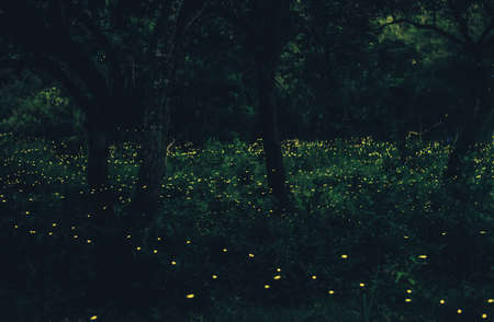 Abstract and magical image of Many firefly flying in the forest. Fireflies in the bush at night in Bangkok (Prachinburi) Thailand. Firefly symbolizes the integrity of the ecosystem. Long exposure photo. Stock fotó