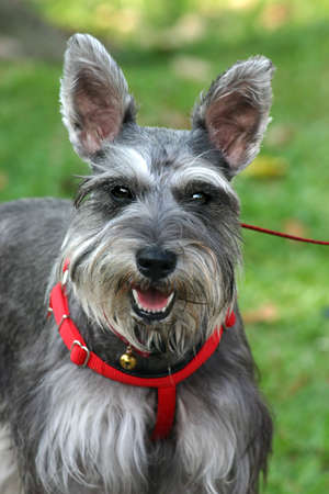 anticipating: Head-on portrait of a Schnauzer with red collar harness