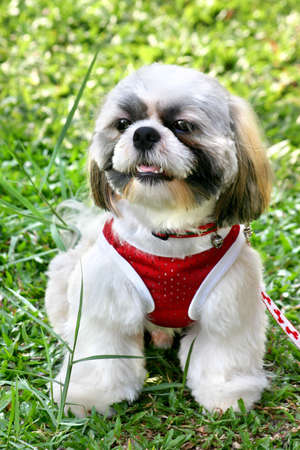 Shih-Tsu dressed in a red top, sitting in the shade under a tree in a park