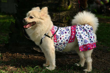 perky: Side view of a white dog of pomeranian and spitz heritage in dog pyjamas Stock Photo