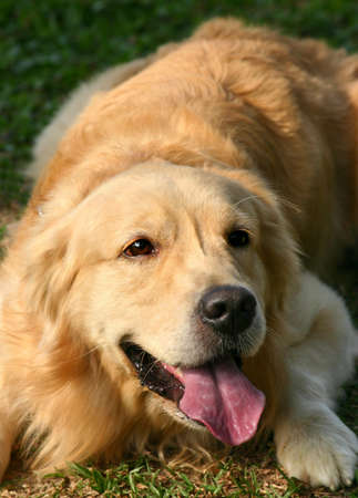 panting: Golden Retriever lying on the grass panting Stock Photo