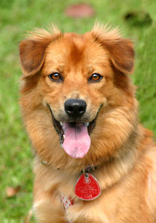 Portrait of a beaming happy golden furred dog Stock Photo - 282868