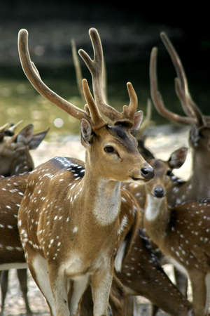 A group of deer at the Taiping Zoo and Night Safari photo