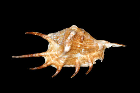 An unusual seashell with a black background photo