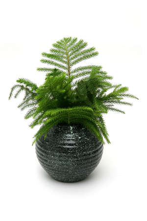 Araucaria Pine In Highly Glossed Round Black Vase Stock Photo