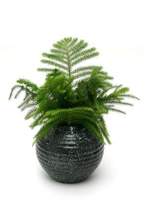 watered: Araucaria pine in highly glossed round black vase