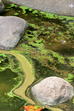 dilute: Algal slurry at the top of a stagnant pond forming swirl and bloom patterns Stock Photo