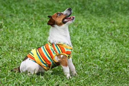 looking upwards: Jack Russell terrier in striped suit sitting and looking upwards at something