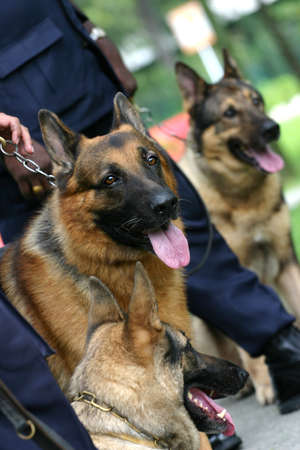 Alsatian police dogs lined up and waiing to perform photo