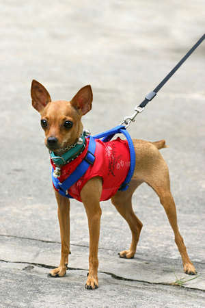 pinscher: Miniature Pinscher in Chinese suit
