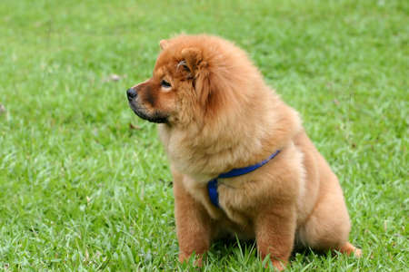 licensed: Chowchow in a green field looking of to the side Stock Photo