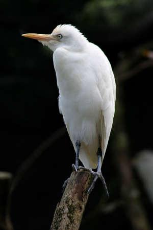 waders: El egret blanco perched en un tronco muerto en el parque zool�gico de Taiping Foto de archivo