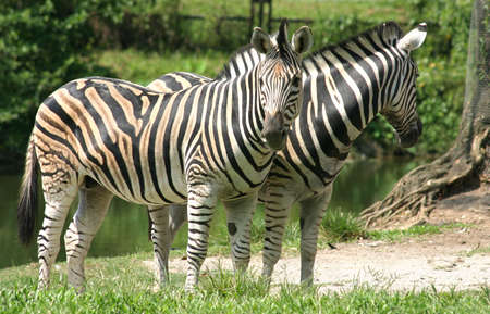 A pair of Zebras in the Taiping Zoo photo