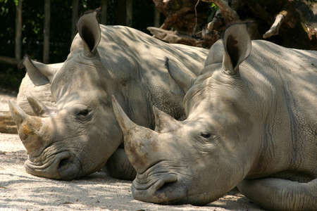 confined: A pair of sleeping Rhinos in the Taiping Zoo Stock Photo