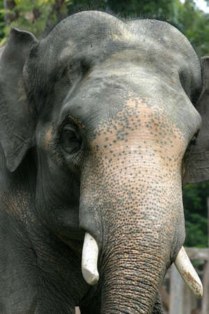 tremendous: Close-up and personal with a bull elephant at the Taiping Zoo
