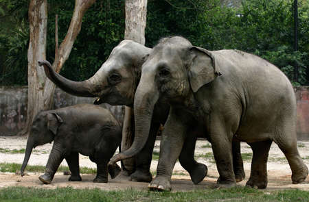 reminding: An elephant family at the Taiping Zoo Stock Photo