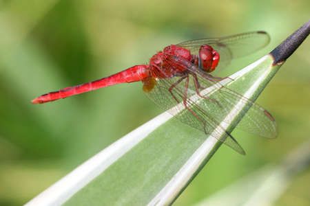 Red dragonfly perched on a xenophyte plant photo