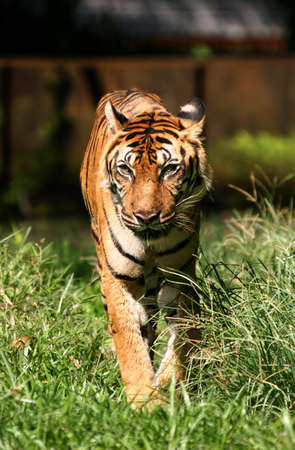 gait: A lone proud tiger walking towards you Stock Photo