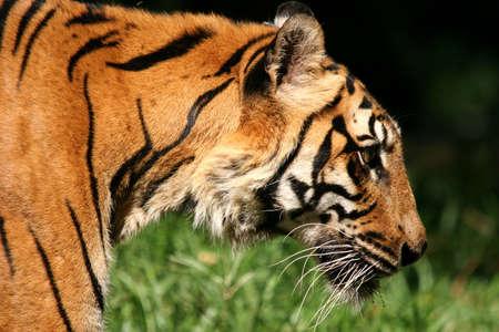 side profile: Chiudasi sul profilo laterale della testa e delle spalle della tigre Archivio Fotografico
