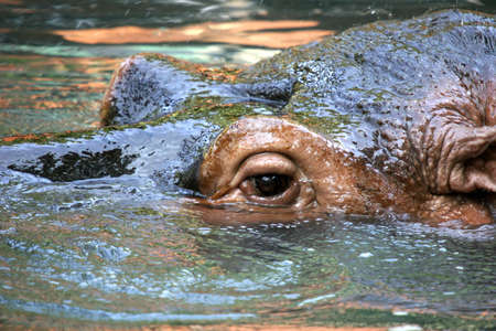 sumergido: Primer plano sobre la cabeza y los ojos de semi sumergido Hippopotamus