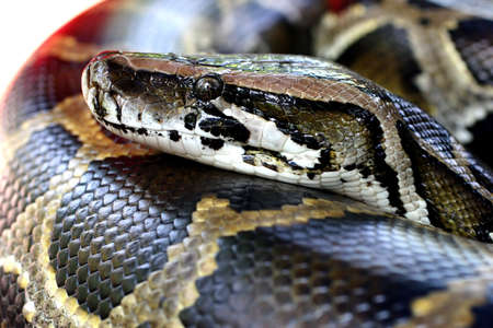 burmese: Close up head shot of a Burmese Python in a petting zoo. Stock Photo