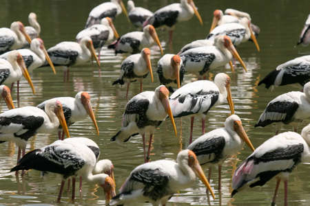 Painted storks resting in the shallows of a lake photo