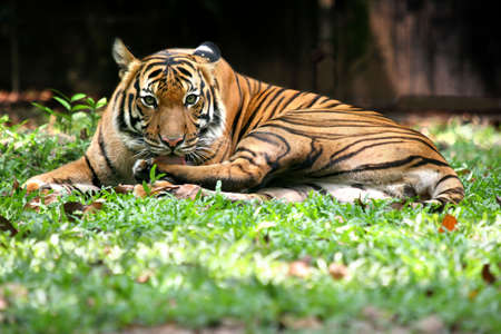 Tiger staring from it's resting place in the shade