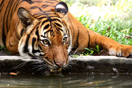 gait: Tiger taking a refreshing drink from a river moat to cool off