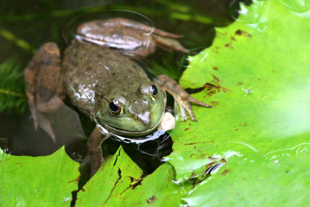Frog staring up from beneath the water below lily leaves photo