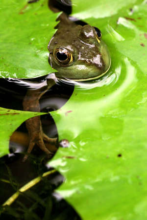 croak: Frog popping it head out between some lily leaves from underwater.