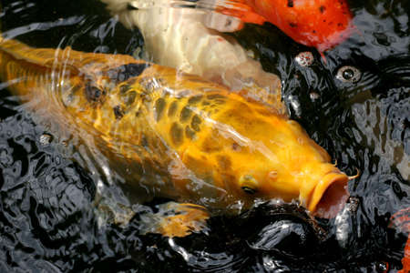 Koi or Japanese carp coming up to the surface in a rush for food. photo