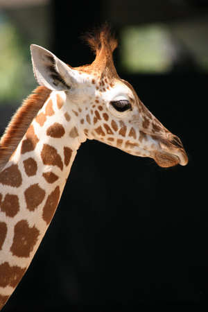 Head and neck shot of adult African giraffe photo