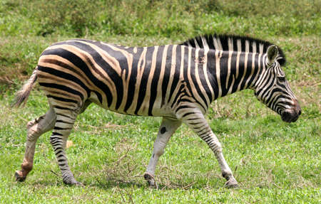 Side view of a lone African zebra walking along a green plain. photo