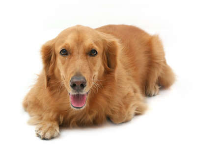 behave: Golden retriever lying down looking straight at camera
