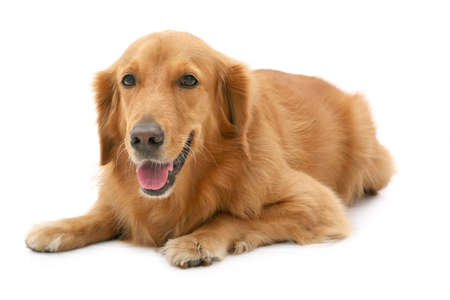 behave: Golden retriever lying down at angle looking at camera