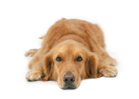 Golden retriever lying with head down looking at camera photo