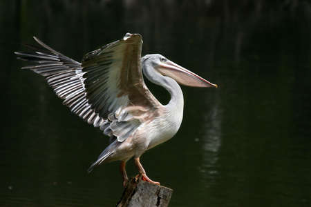 bipedal: A pelican extending its wings