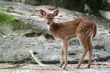 juvenile: Curious juvenile spotted deer Stock Photo